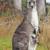 Kangur olbrzymi